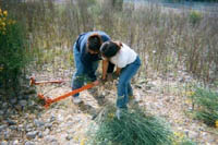 Removing Spanish broom along the American River Parkway, Sacramento