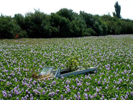 Boat in water hyacinth