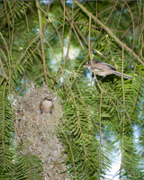 Bushtits on nest
