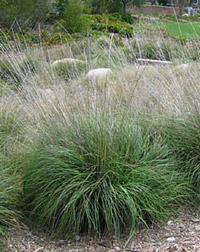Deer grass (Muhlenbergia rigens) is a native plant suitable for replacing invasive pampasgrass (Cortaderia selloana)