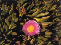 carpobrotus-small2