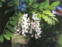 robinia-small2