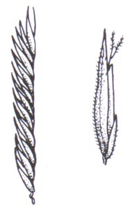 spartina-pat-illus