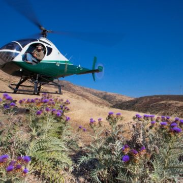 A helicopter flies low over a field of purple thistles