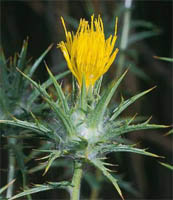 Carthamus lanatus, or woolly distaff thistle