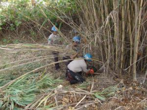 California Conservation Corps crew members remove Arundo