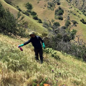 A man in protective gear uses a small spray bottle to target weeds on a grassy green hillside