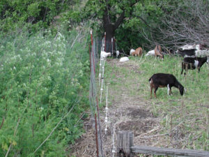 Goats removing invasive plants on Catalina Island. Photo by John Knapp