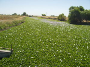 Invasive aquatic plants such as water hyacinth (Eichornia crassipes) clog waterways. Photo courtesy Adam Morrill, CA Dept. of Boating and Waterways