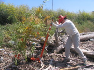 Weed wrenching red sesbania. Photo courtesy Solano Resource Conservation District