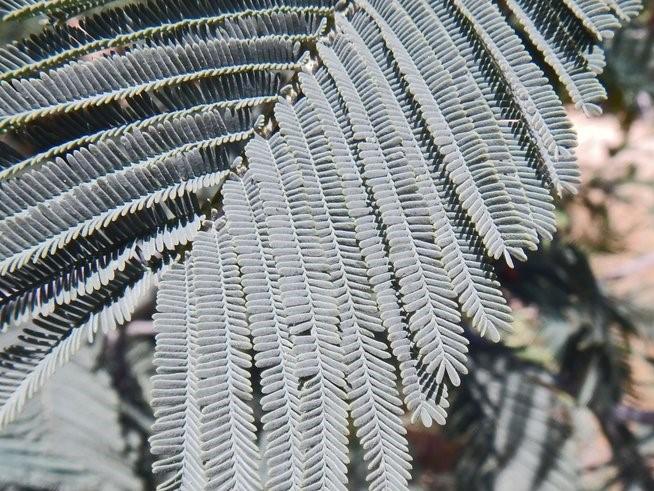 Acacia dealbata_leaf_copyright_2014_NealKramer