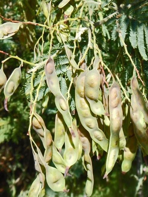 Acacia dealbata_seed pods_copyright_2014_NealKramer