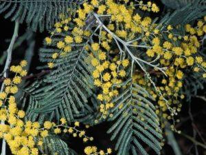 Acacia dealbata_silver wattle_JM DiTomaso