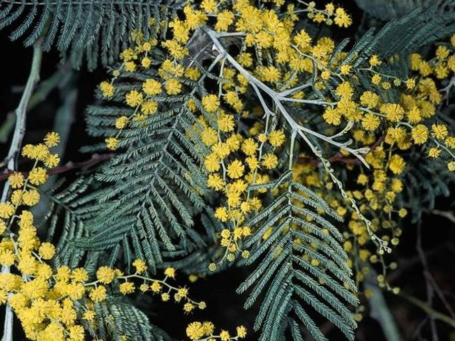 Acacia Dealbata Profile California Invasive Plant Council