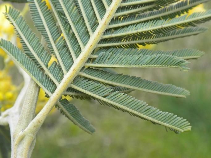 Acacia dealbata_stem and leaf(underside)_copyright_2010_NealKramer