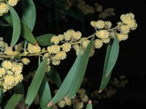 Acacia melanoxylon_black acacia_JM DiTomaso