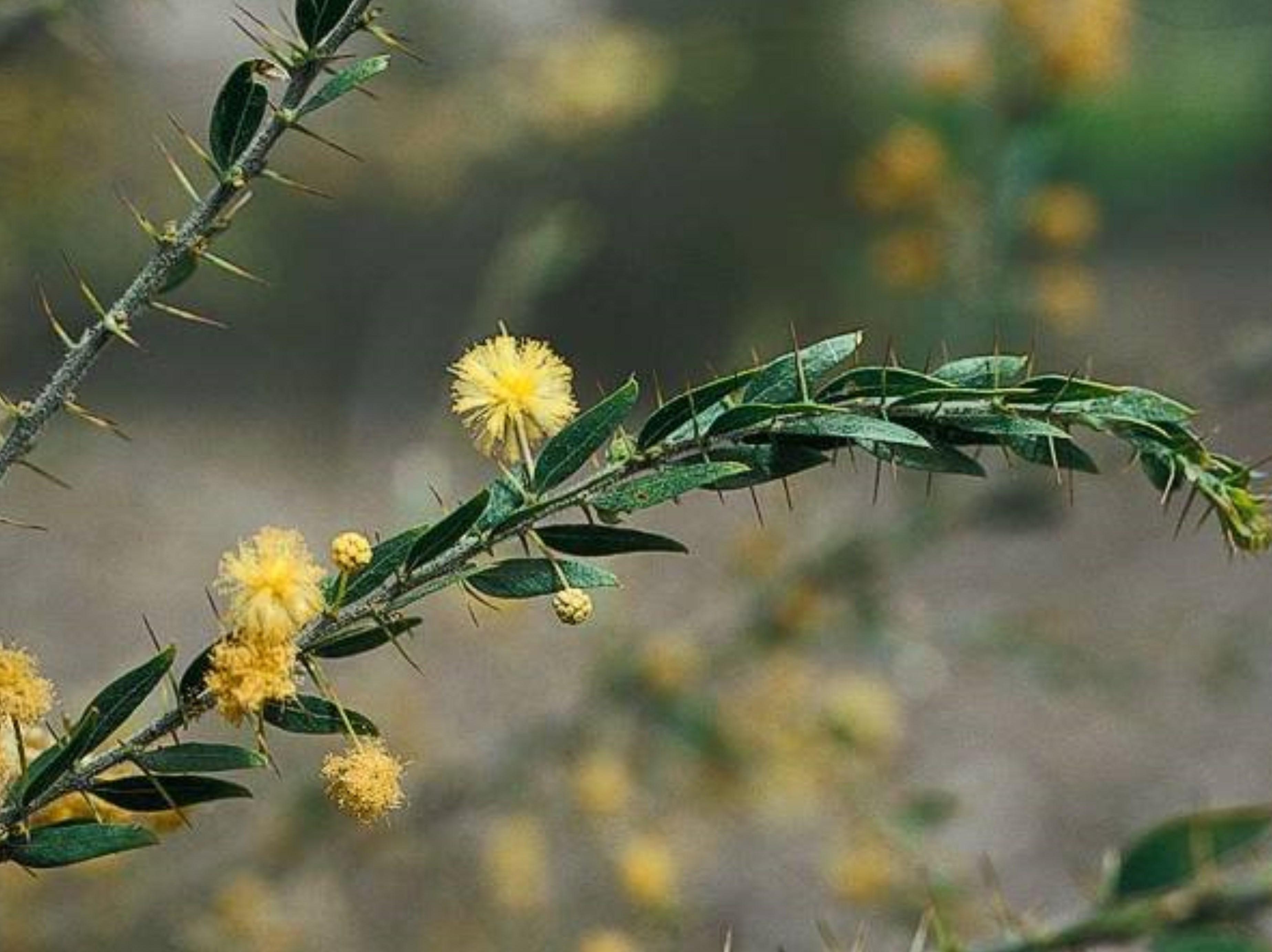 Acacia paradoxa_C122-06