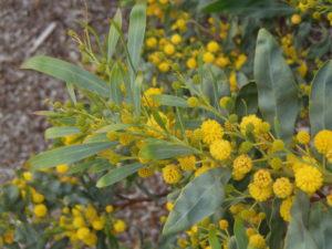 Acacia pycnantha_Ron Vanderhoff