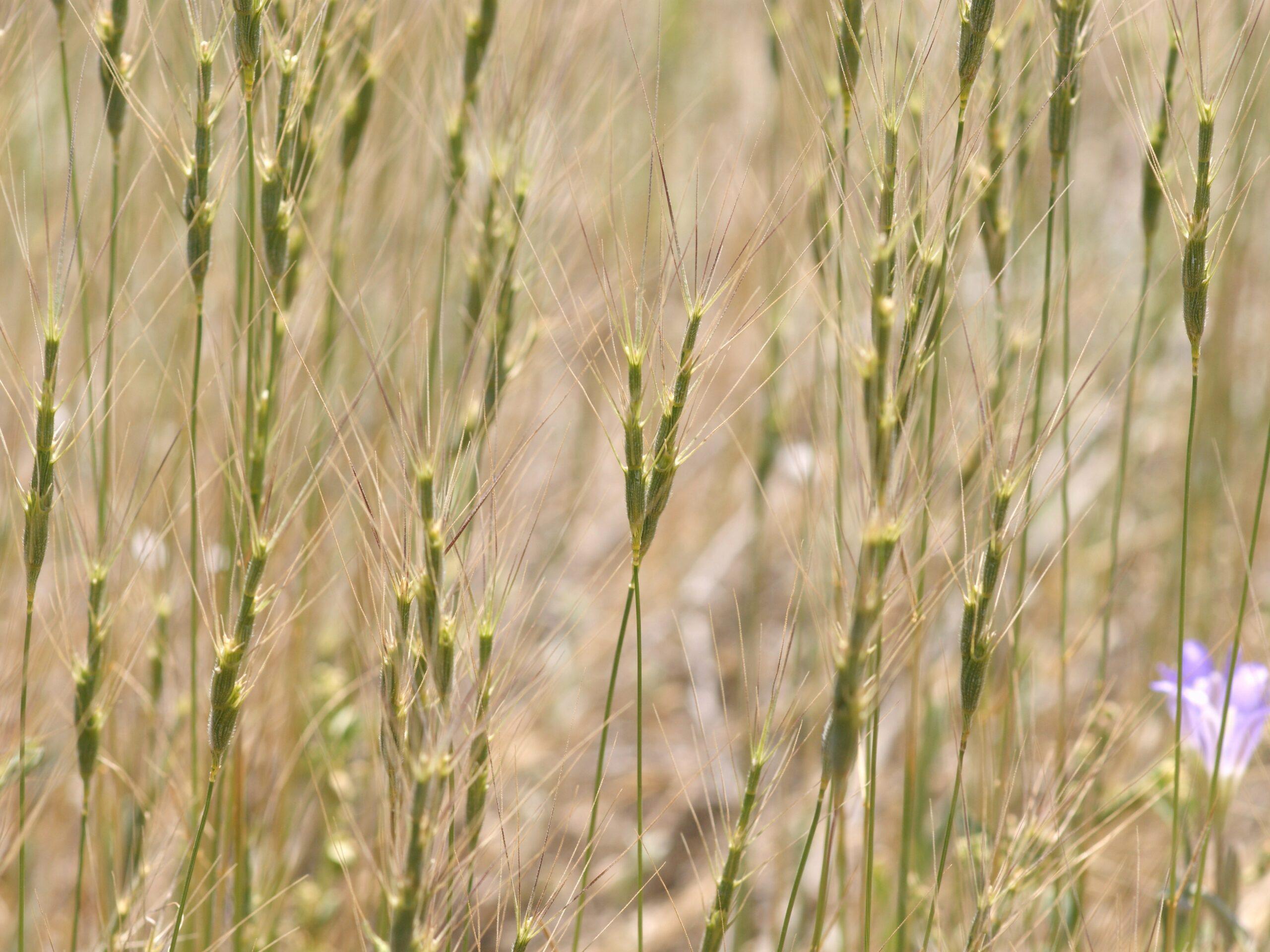 Aegilops-triuncialis_barb-goatgrass_BobCase_cropped-scaled.jpg