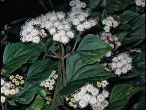 Ageratina adenophora_Croftonweed_JM DiTomaso