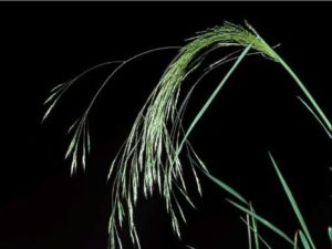 Agrostis avenacea_ Pacific bentgrass_ JM Di Tomaso