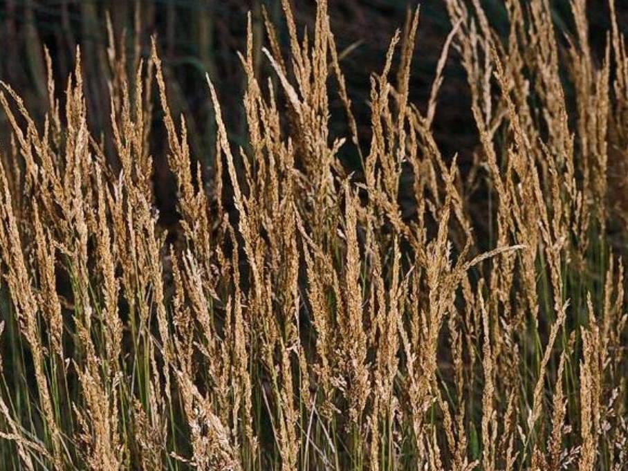 Agrostis stolonifera_ creeping bentgrass_ JM Di Tomaso