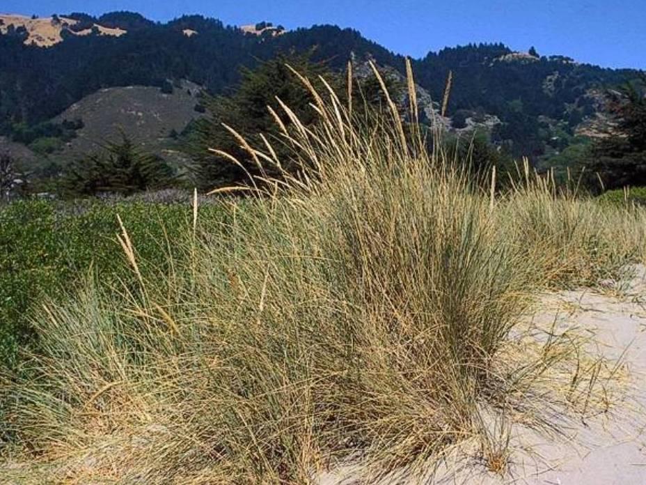 Ammophila arenaria_ European beachgrass_ JM Di Tomaso