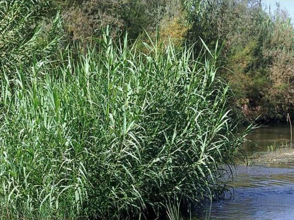 Arundo Donax Profile California Invasive Plant Council
