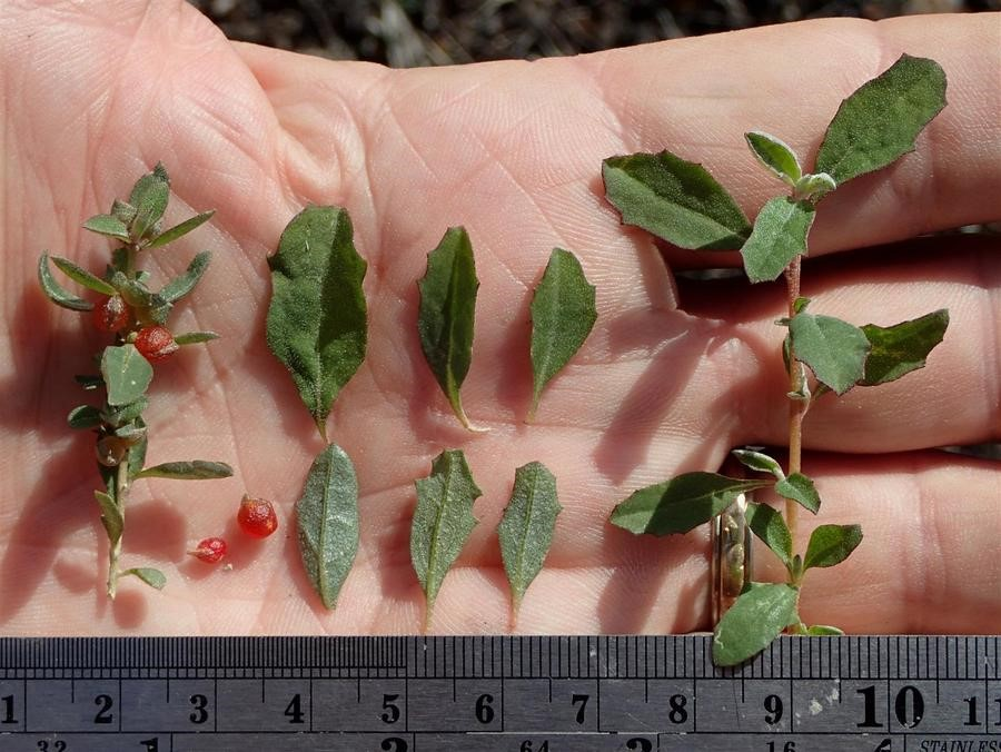Atriplex-semibaccata_leaves-stems-and-fruit_Ron-Vanderhoff_cropped.jpeg
