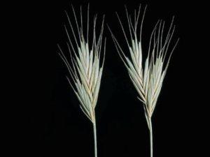 Brachypodium distachyon_annual falsebrome_ JM Di Tomaso