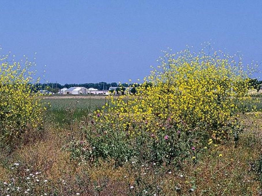 Brassica nigra_Black Mustard_plants_JM DiTomaso