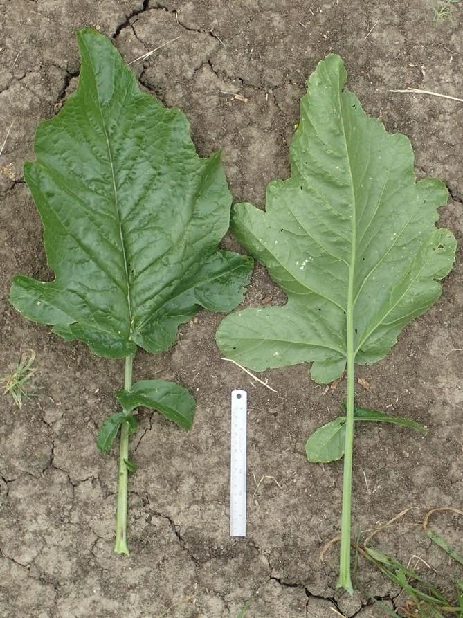 Brassica-nigra_leaves_Ron-Vanderhoff_cropped.jpg
