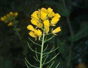 Brassica rapa_Birdsrape mustard_flowers_JM DiTomaso