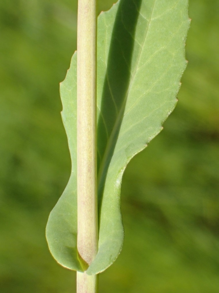 Brassica rapa_leaf and stem_Ron Vanderhoff_cropped