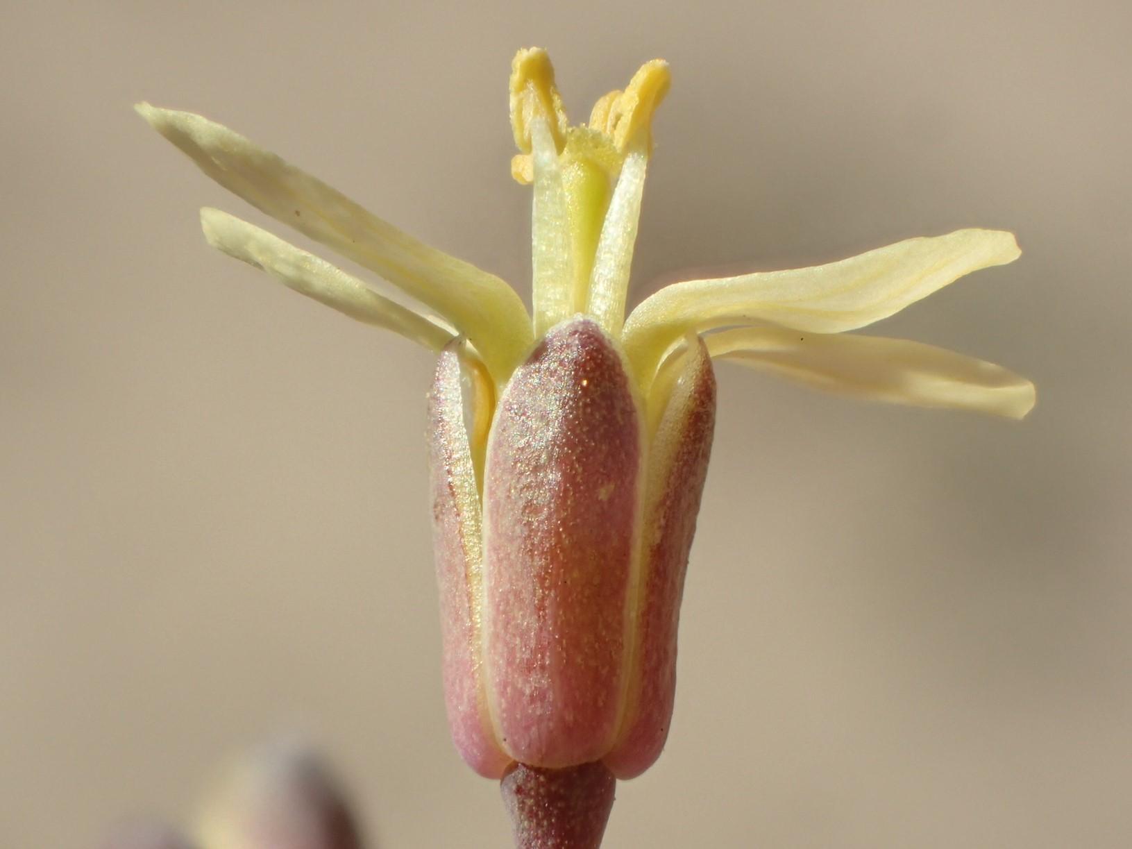 Brassica tournefortii_flower_Ron Vanderhoff_cropped