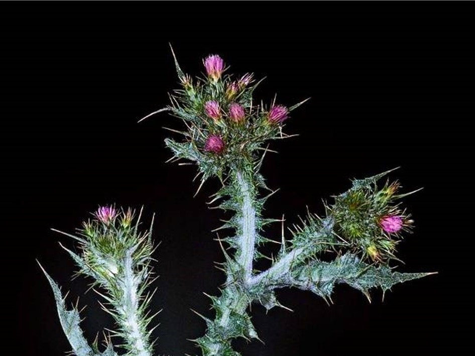 Carduus tenuiflorus_slenderflower thistle_JM DiTomaso_cropped