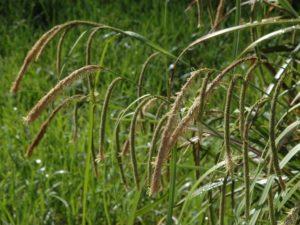 Carex pendula_Dean Wm. Taylor_ Ph.D