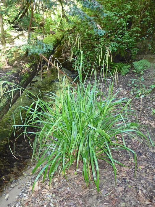 Carex pendula_growth habit_copyright_2015_NealKramer