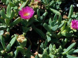 Carpobrotus chilensis_sea fig_JM DiTomaso_cropped