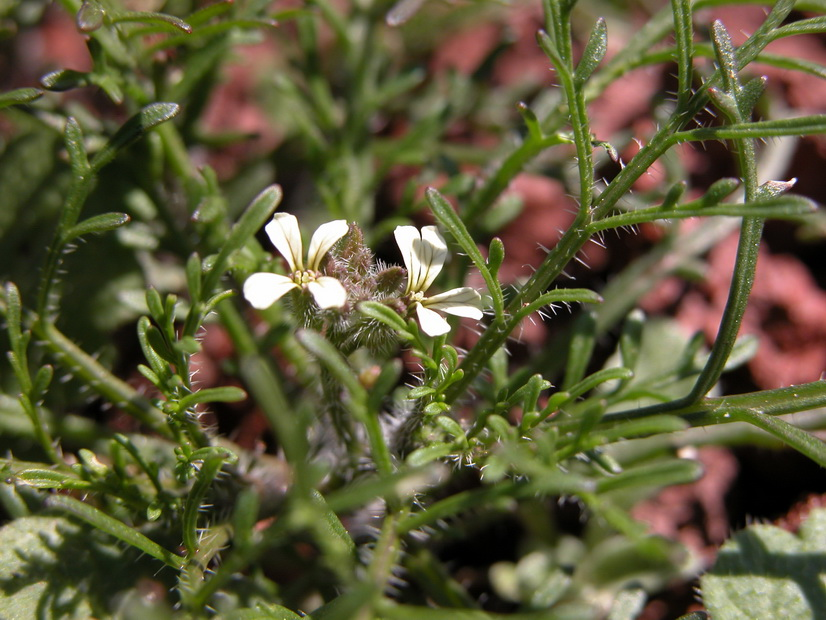 Carrichtera annua_Flora y Vegetacion Wikimedia