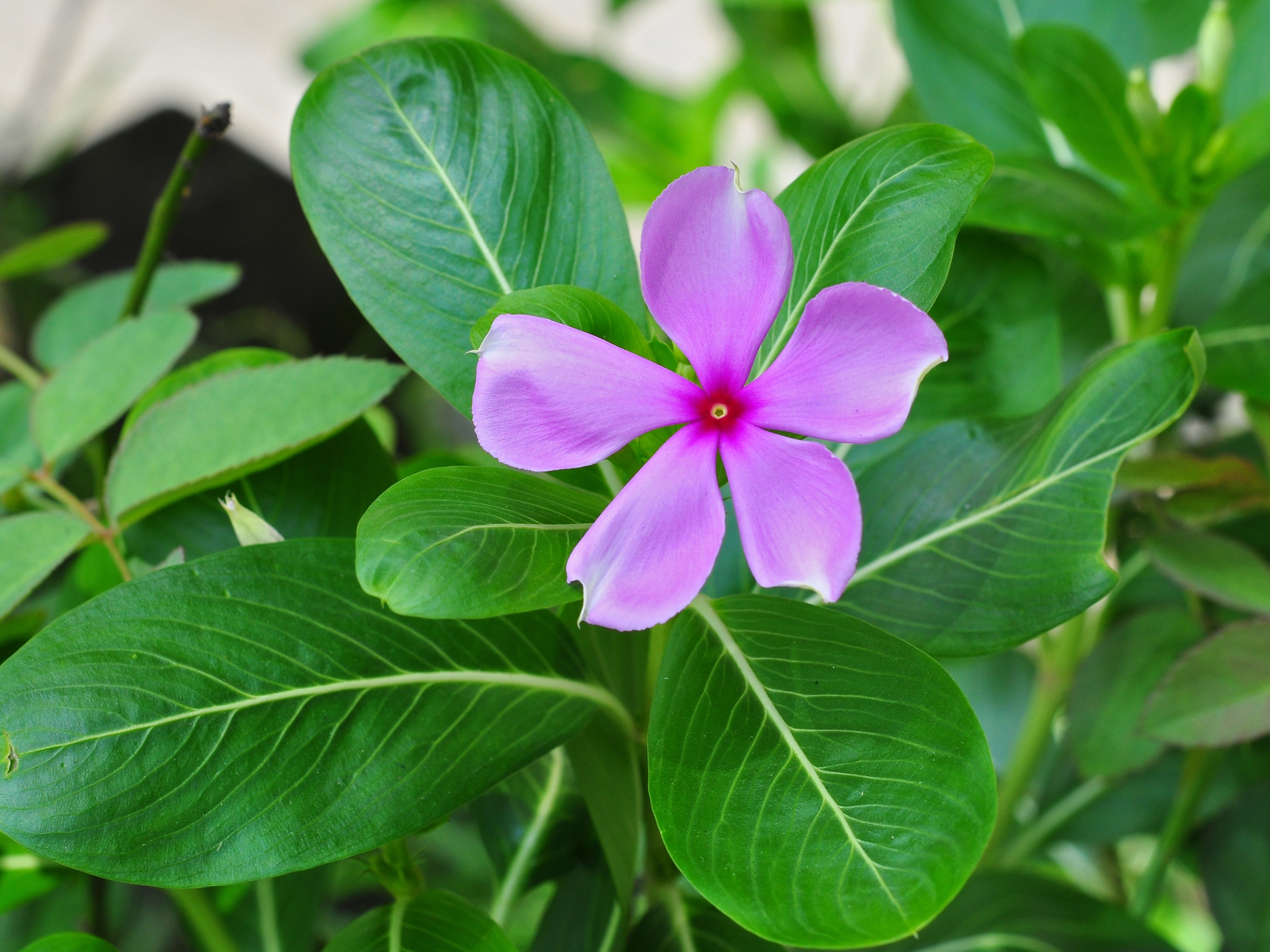 Catharanthus_roseus by Joy Deep