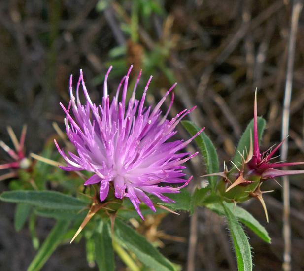 Centaurea calcitrapa_flowerhead_copyright_2015_NealKramer