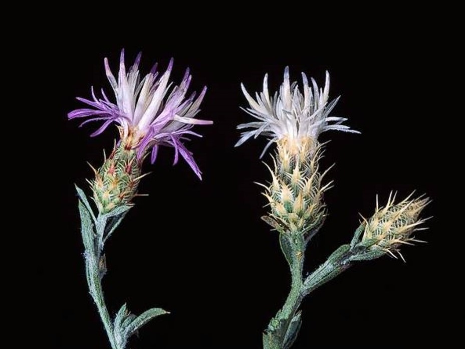 Centaurea diffusa_diffuse knapweed_flowerheads_JM DiTomaso