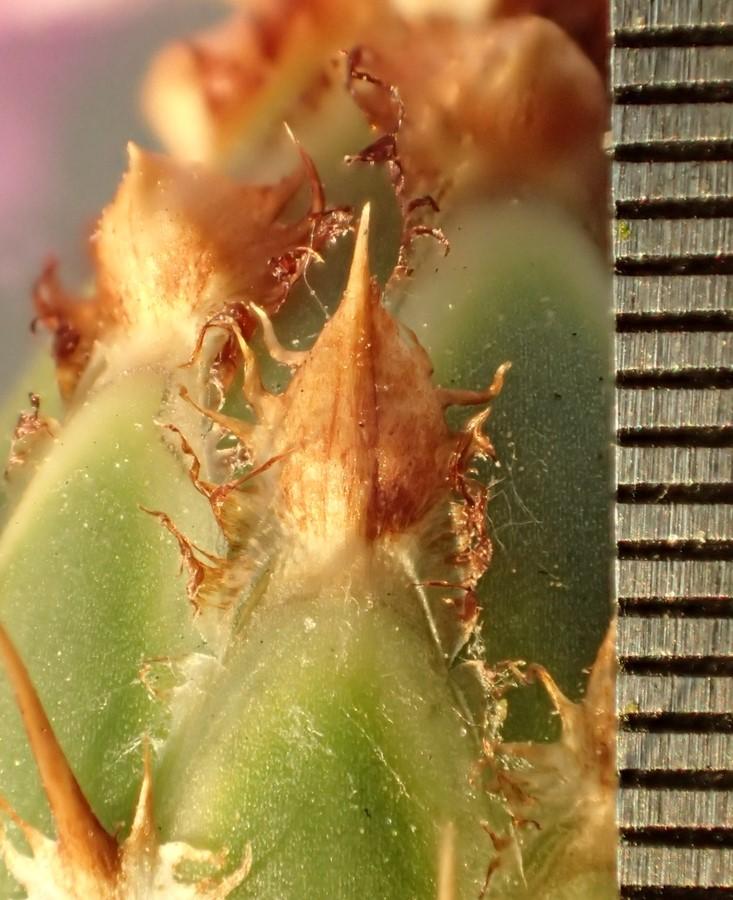Centaurea diluta_phyllaries on flower head_RonVanderhoff