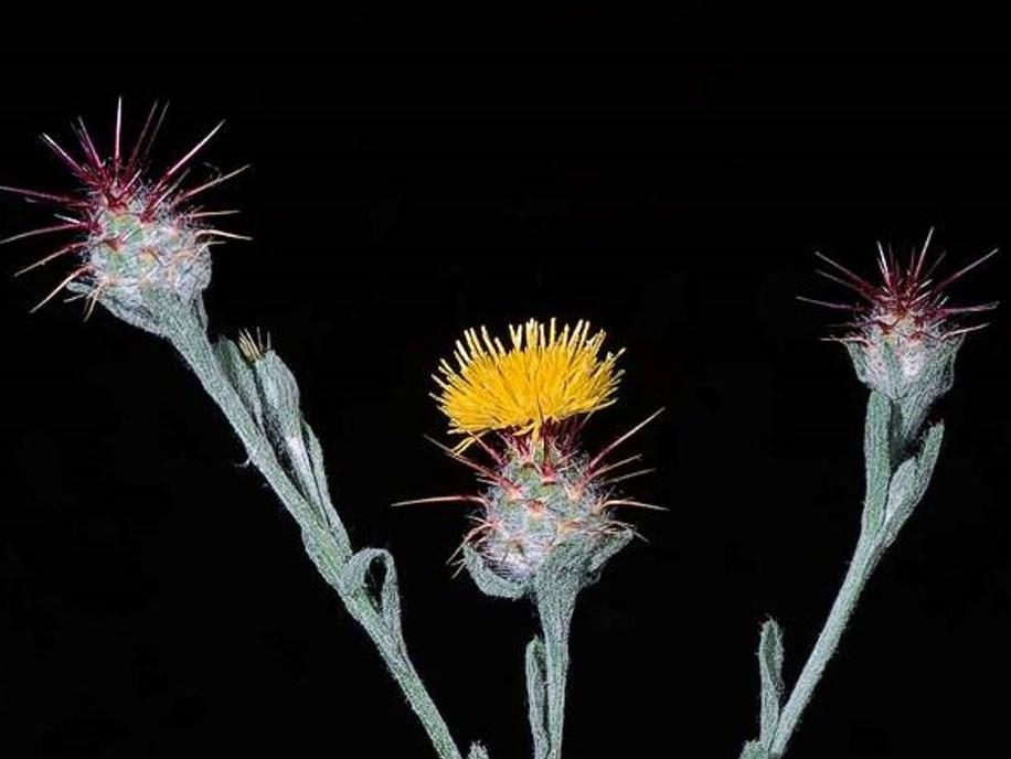Centaurea melitensis_malta starthistle_JM DiTomaso