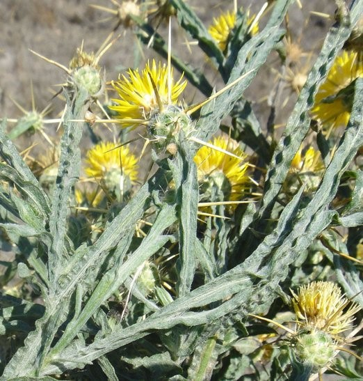 Centaurea solstitialis_leaves, stems, flower heads_copyright_2014_NealKramer