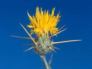 Centaurea solstitialis_yellow starthistle_flowerhead_JM DiTomaso