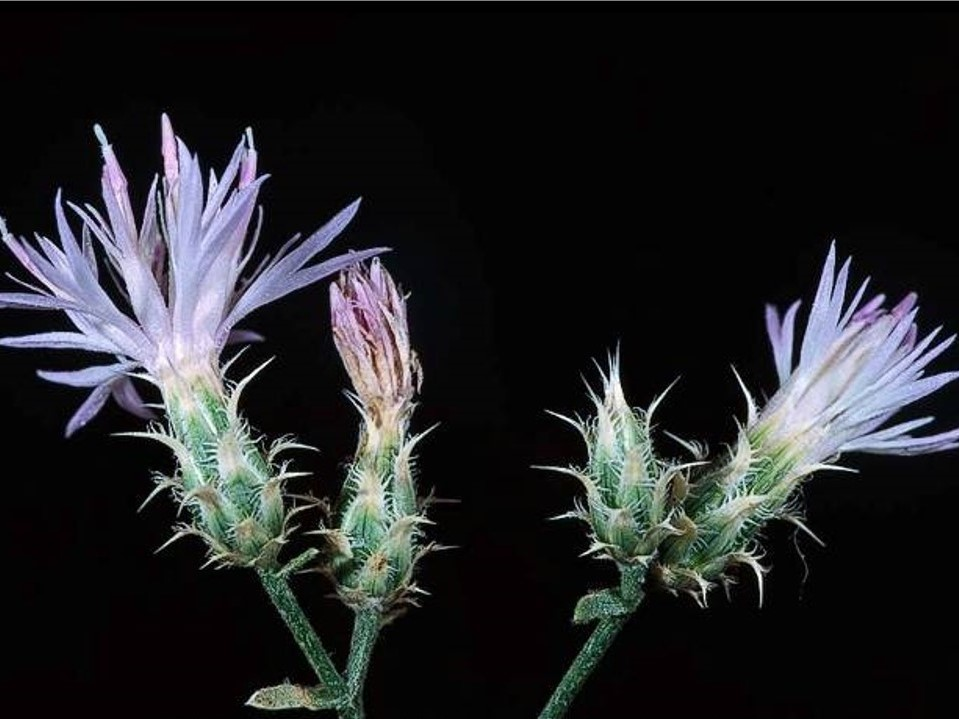 Centaurea virgata var. squarrosa_squarrose knapweed_JM DiTomaso_cropped