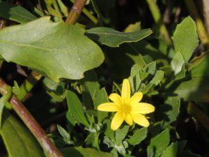 Chrysanthemoides monilifera ssp. monilifera by Ron Vanderhoff