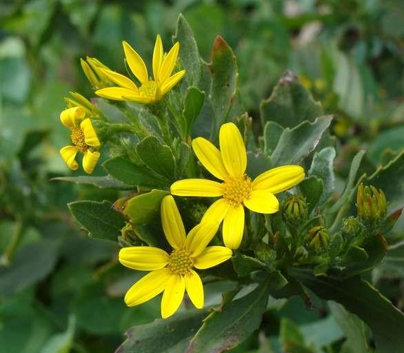 Chrysanthemoides monilifera ssp. monilifera_flower heads_RonVanderhoff
